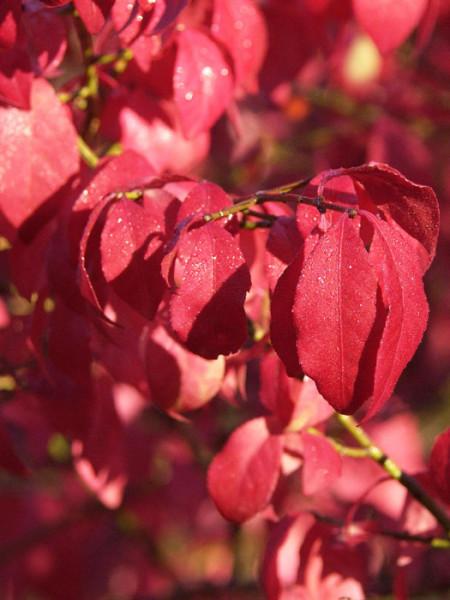 Rote Herbstfärbung des niedrigen Kork-Spindelstrauchs