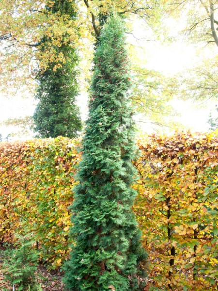 Säulenlebensbaum Columan Solitär