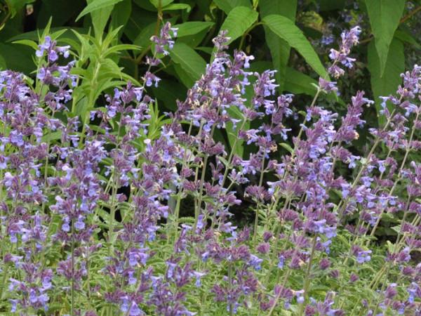 Blütenkerzen Katzenminze Walkers Low