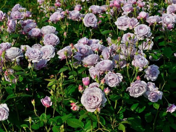die Rose Novalis