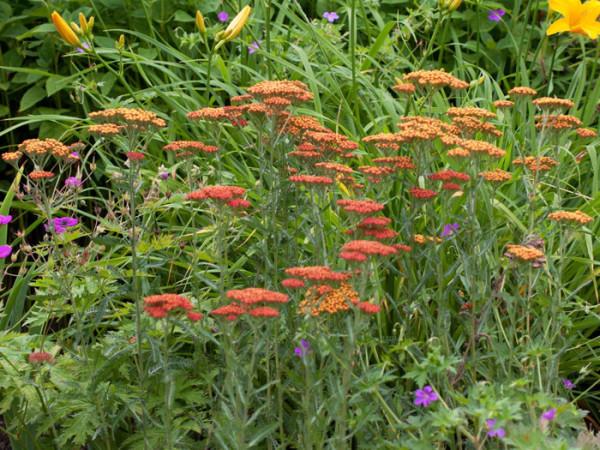 Achillea filipendulina 'Feuerland', Schafgarbe 'Feuerland', rote Goldquirl-Garbe