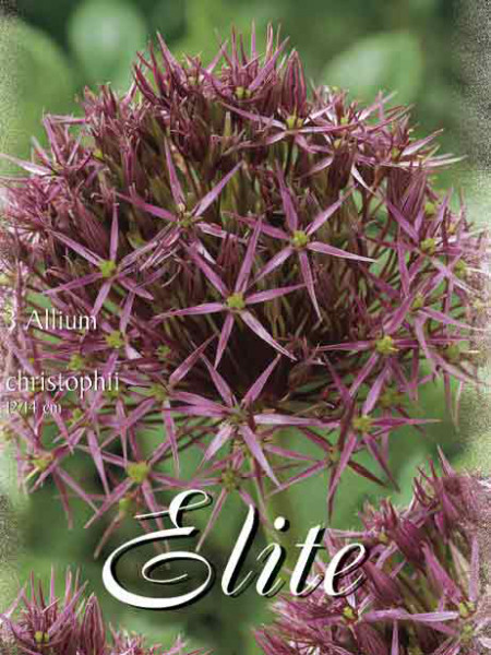 Allium 'Christophii' (Art.Nr. 596304)