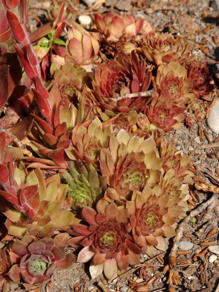 Sempervivum marmoreum 'Rubin', Steinrose, Marmor-Hauswurz, Dachwurz