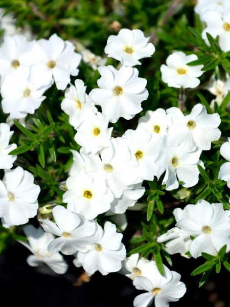 Phlox douglasii 'White Admiral', Polsterphlox, Teppich-Flammenblume