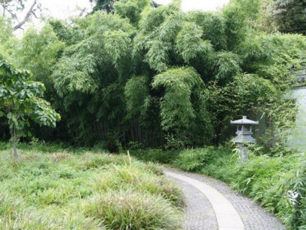 Phyllostachys flexuosa, Lieblicher Bambus