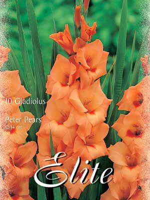 Großblumige Gladiole 'Peter Pears', Gladiolus (Art.Nr. 521294)
