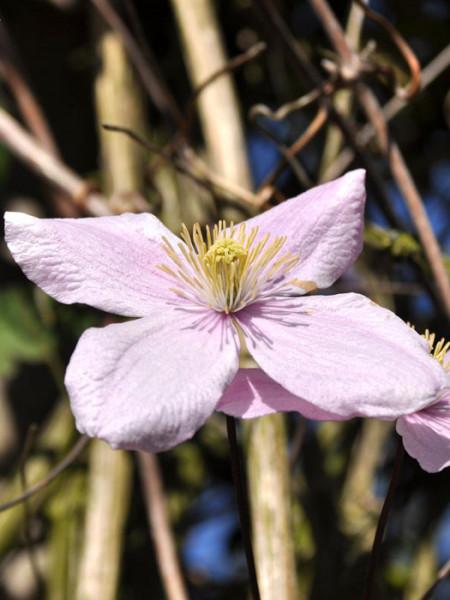 Einzelne Blüte der Anemonenwadrebe 'Rubens'