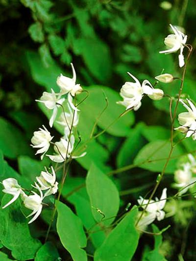 Weiße Blütenstände und sattgrünes Blattwerk
