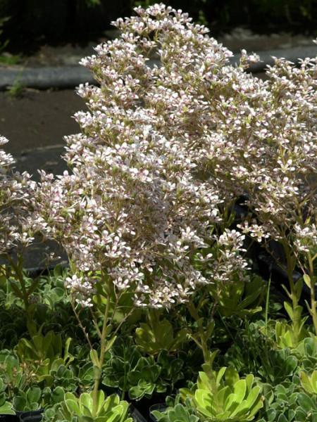 Saxifraga cotyledon 'Southside Seedling', Becher-Steinbrech, Herbst-Steinbrech