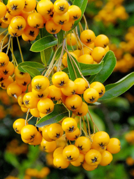 Gelbfruchtiger Feuerdorn Beeren