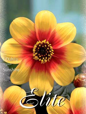 Mignon-Dahlie 'Sunshine', Dahlia (Art.Nr. 520576)