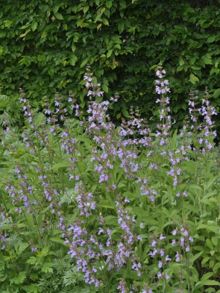 Apothekersalbei, Salvia officinalis