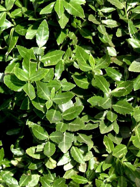 Blattwerk der immergrünen Kriechspindel