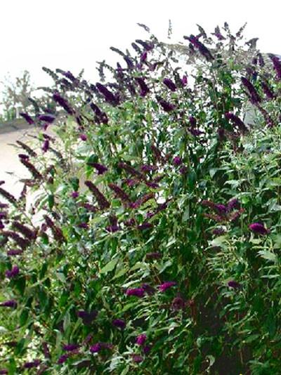 Schmetterlingsstrauch 'Black Knight' während der Blütezeit