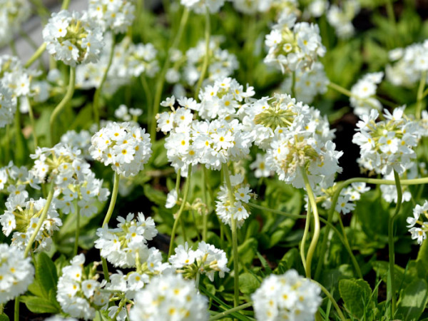 Primula denticulata 'Alba', Weiße Kugelprimel