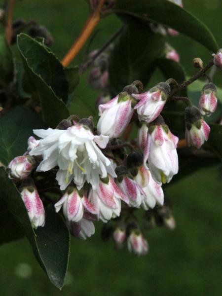 Blüte Maiblumenstrauch