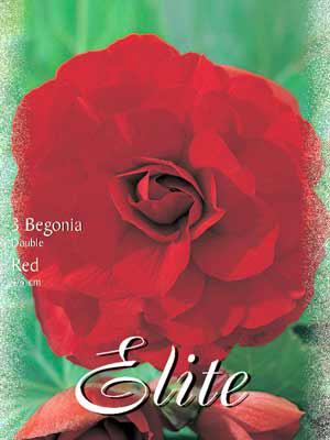 Riesenblumige Begonie 'Red', Begonia gigantea (Art.Nr. 520838)