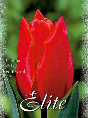 Einfache frühe Tulpe 'Red Revival' (Art.Nr. 595120)