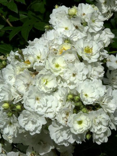 Blüte der Rose Rambling Rector