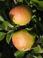 Apfel Pilot (S)