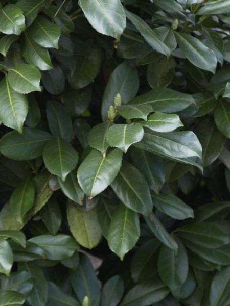 Kirschlorbeer Etna Blätter