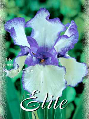 Schwertlilie 'Blue and White', Iris germanica (Art.Nr. 521554)