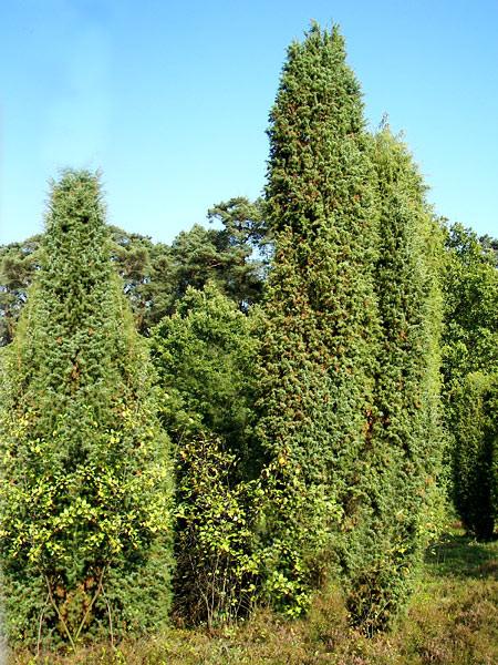 Juniperus communis, Gemeiner Wacholder