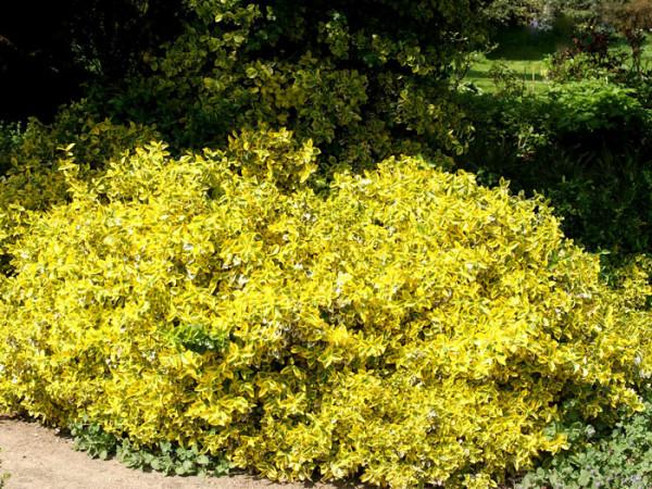 Wuchsform der gelbbunten Kriechspindel