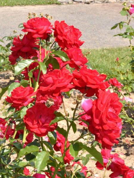 Strauch der Rose Gruß an Heidelberg