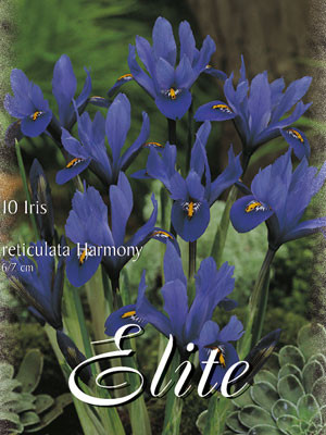 Zwergiris 'Blau', Iris reticulata (Art.Nr. 596878)