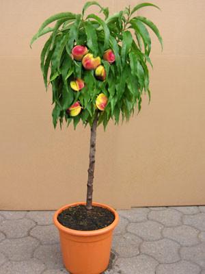 Zwergnektarine im Topf mit Früchten