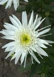 leucanthemum-christine56d95f74a91ae