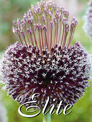 Allium 'Forelock' (Art.Nr. 596307)