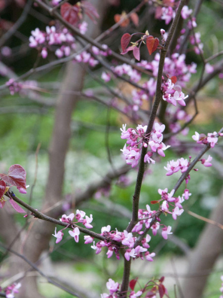 Cercis canadensis 'Forest Pansy', Judasbaum