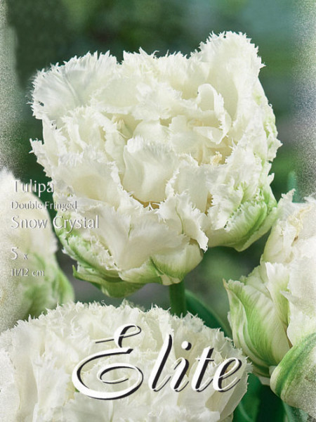 Gefüllte gefranste Tulpe 'Snow Crystal' (Art.Nr. 595540)