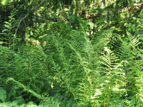 Dryopteris filix-mas 'Linearis Polydactylon', Schellenbaumfarn