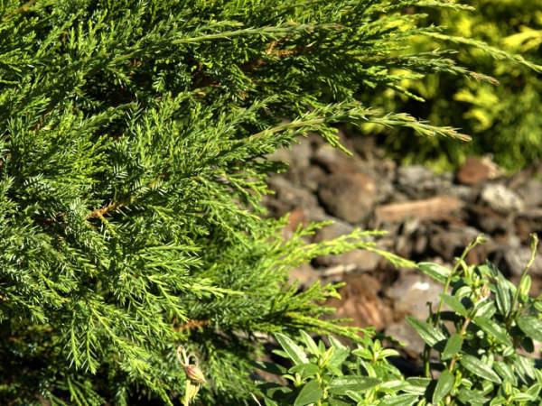 Nadeln grüner Wacholder Mint Julep