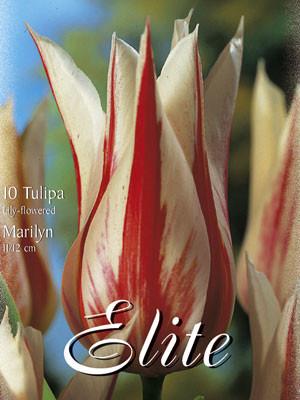 Lilienblütige Tulpe 'Marilyn' (Art.Nr. 595466)
