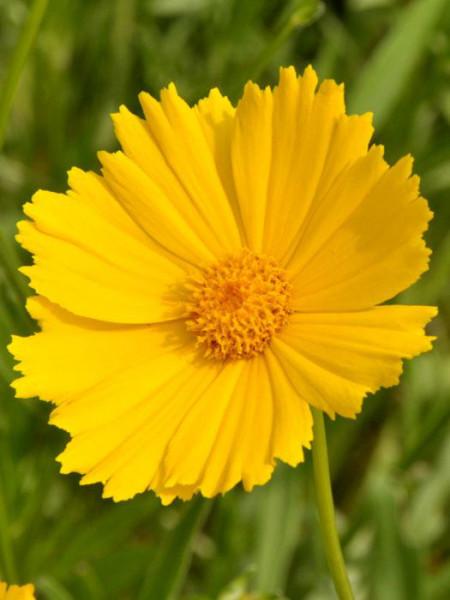 Coreopsis grandiflora 'Schnittgold', Großblumiges Mädchenauge