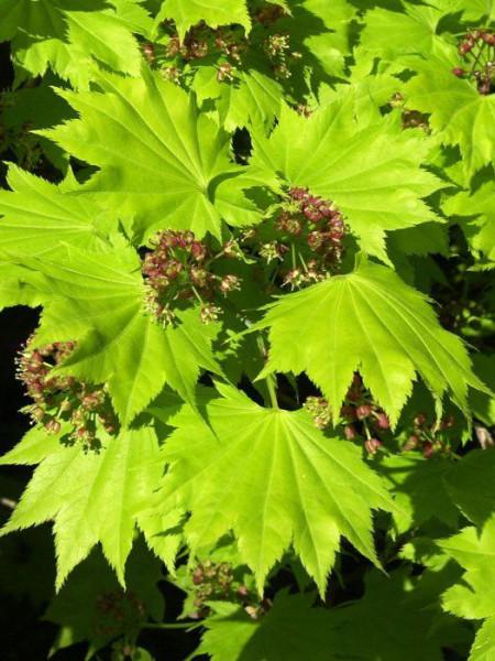 Laub und Blüte des Japanischen Goldahorns