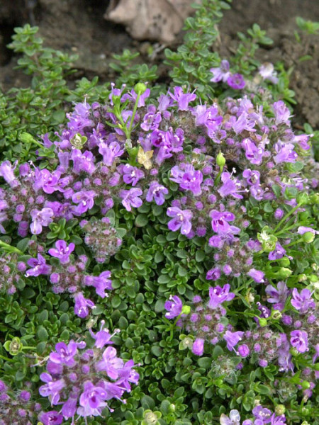 Thymus praecox var. arcticus 'Minus' (M), Langhaariger Thymian, frühblühender Thymian