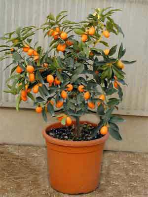 Citrus fortunella japonica 'Kumkuat', Ei-Mandarine*