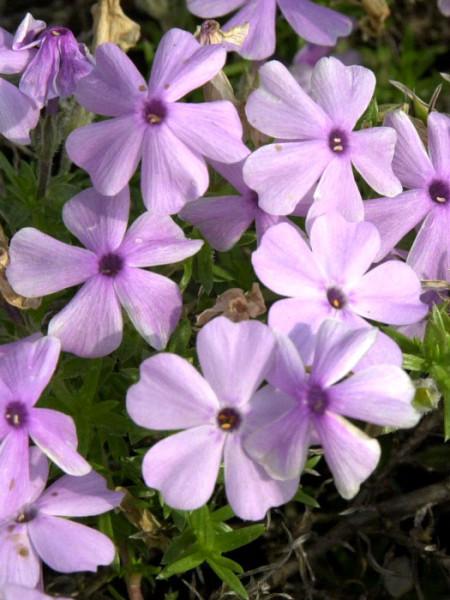 Phlox douglasii 'Lilac Cloud', Polsterphlox, Teppich-Flammenblume