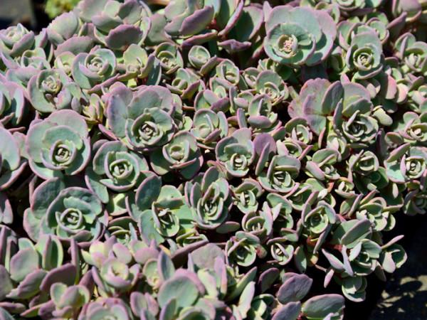 Sedum cauticolum 'Robustum' (syn. 'Ruby Glow'), Purpur-, Himalaja- oder Pflaumen-Fetthenne