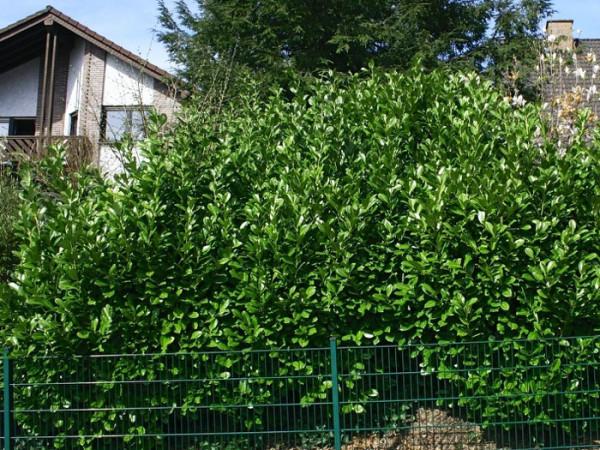 Kirschlorbeer Rotundifolia Sichtschutz