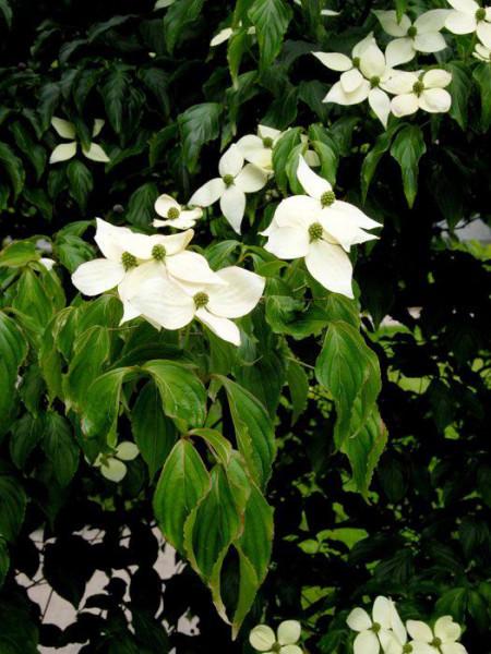 Zweig mit cremeweißen Blüten des Japanischen Blumenhartriegels