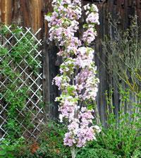 Säulenbaum bis 125cm