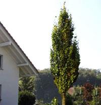 Säulenbaum Hochstamm