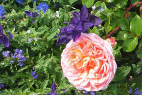 Begleitstauden für Rosen
