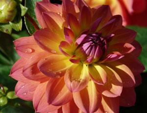 Dahlien Blüte